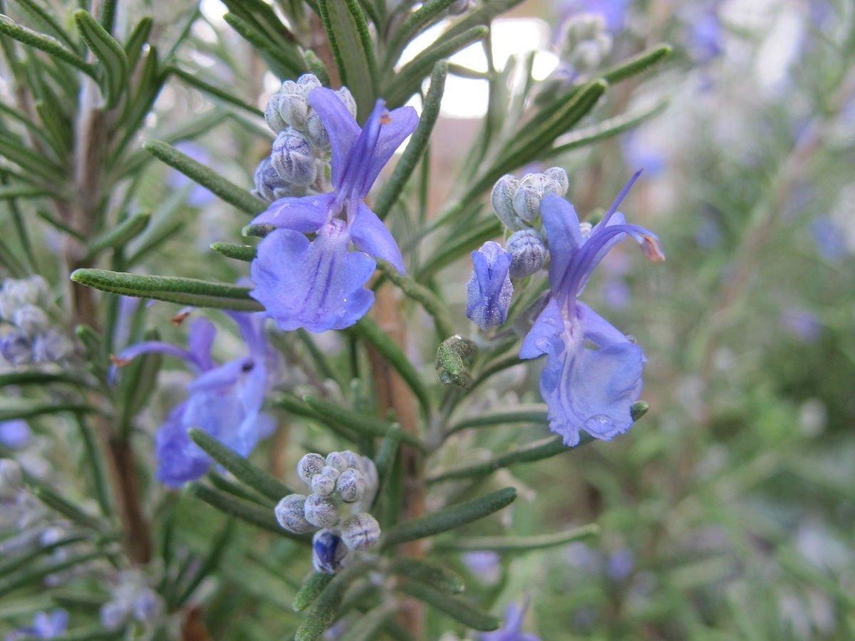 piante-color-viola-rosmarino