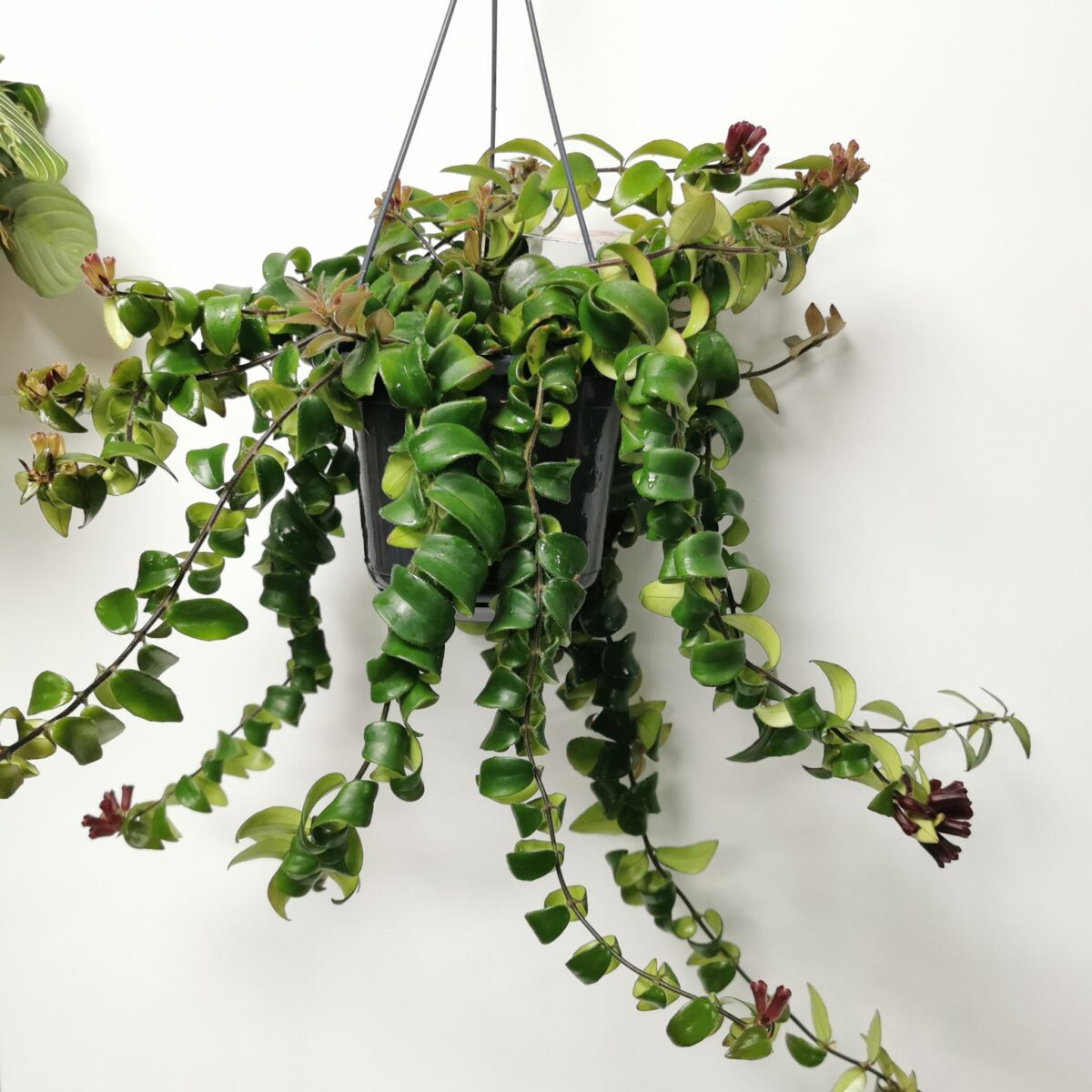 piante-ricadenti-casa-eschinanto