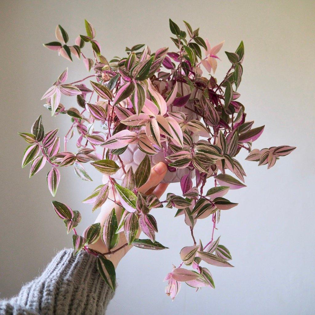 piante-ricadenti-casa-zebrina