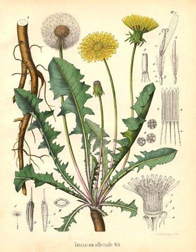 radici fiori e foglie tarassaco