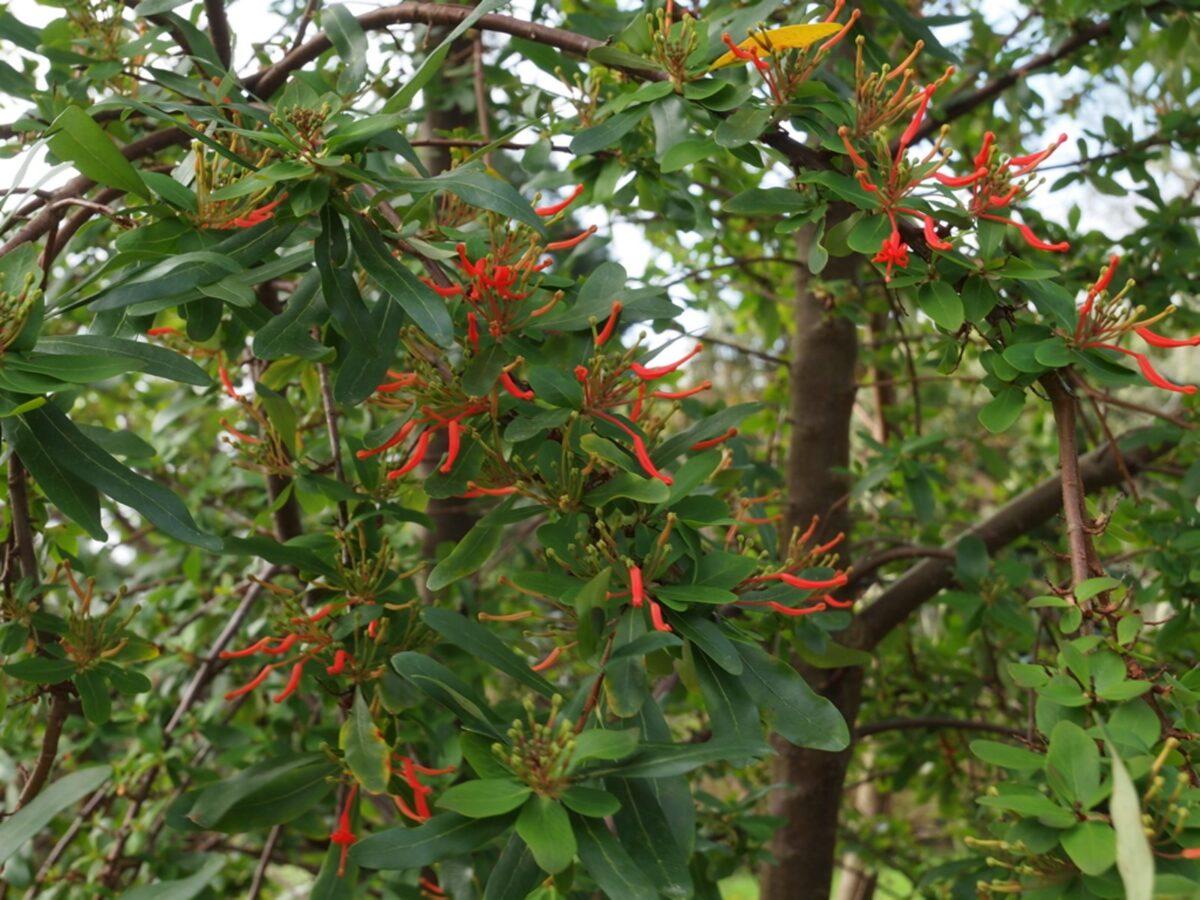 Embothrium coccineum – Albero del fuoco cileno