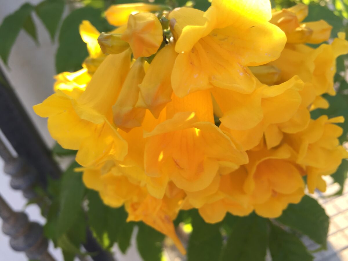 Bignonia gialla-Campsis radicans flava radicans Flava