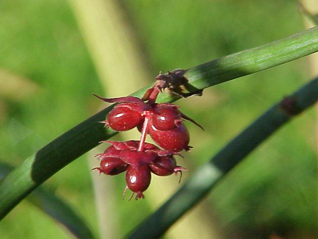 Leycesteria-formosa-frutti