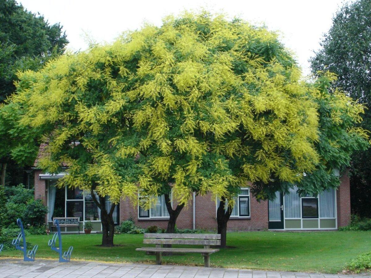 gli-alberi-da-giardino-meno-invasivi-11
