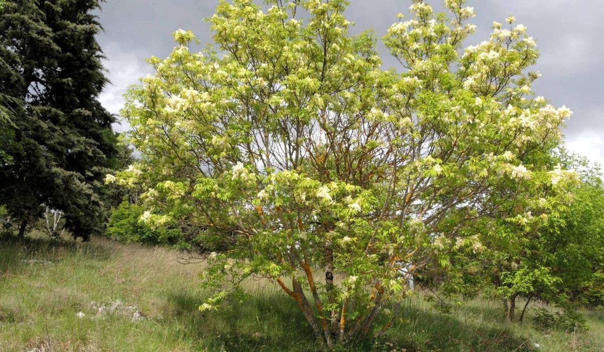 gli-alberi-da-giardino-meno-invasivi-15