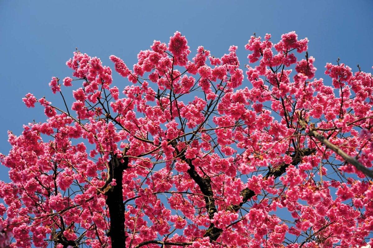 gli-alberi-da-giardino-meno-invasivi-5