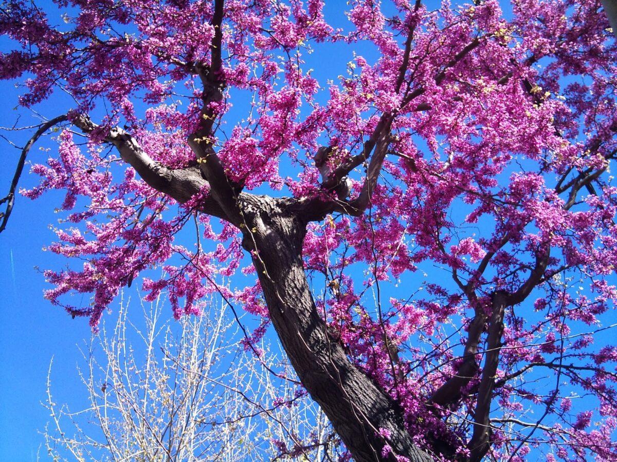 gli-alberi-da-giardino-meno-invasivi-6