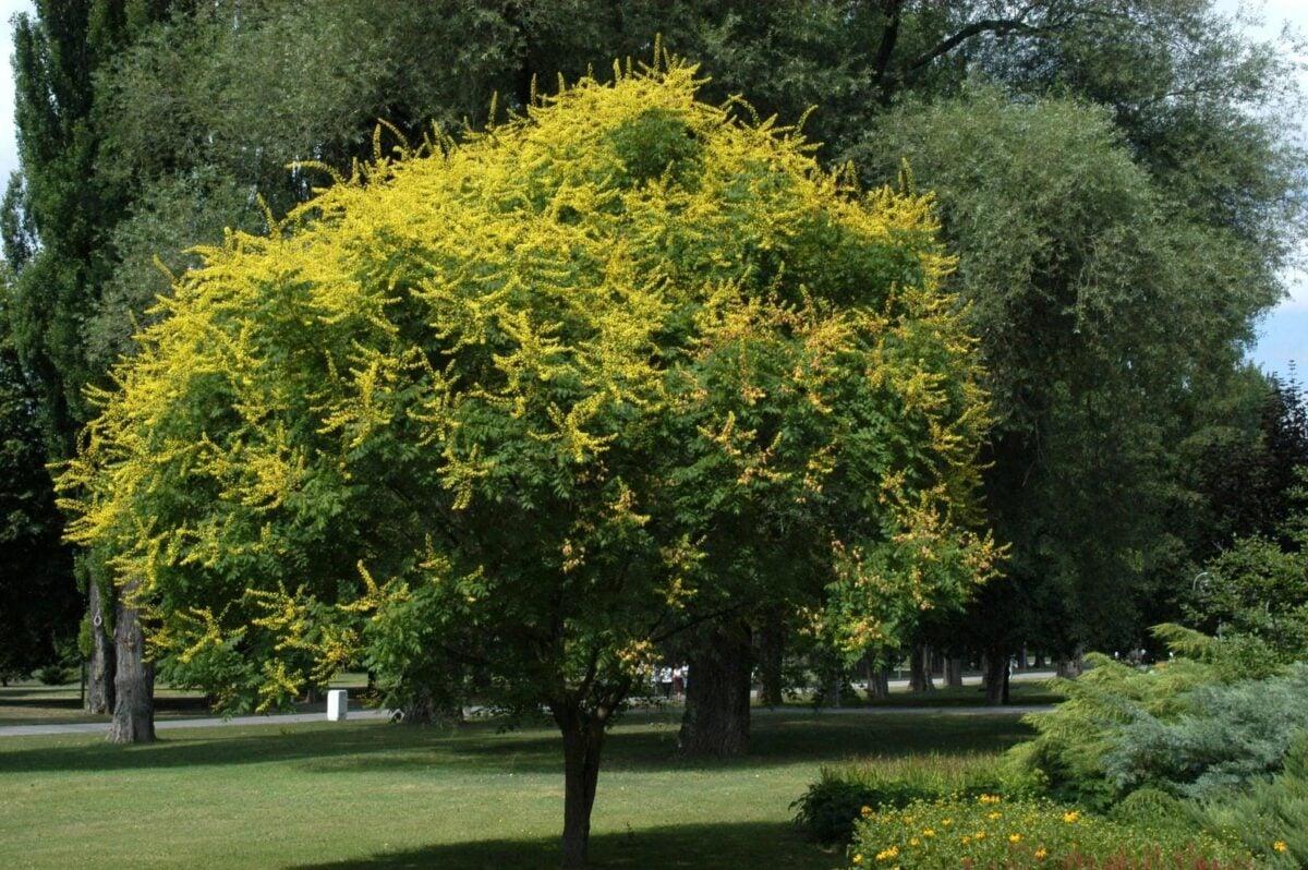 gli-alberi-da-giardino-meno-invasivi-9