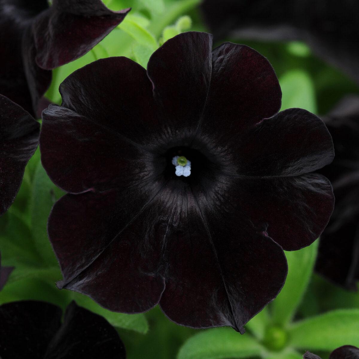 piante-fiori-neri-giardino-blackmagic