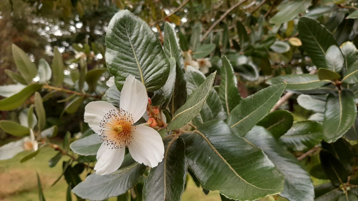 Eucryphia-cordifolia-fiore-foglie