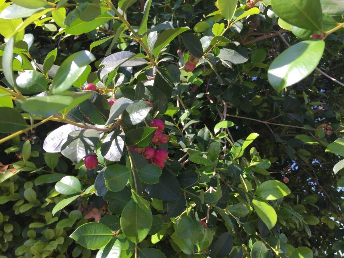 Syzygium paniculatum-coltivazione