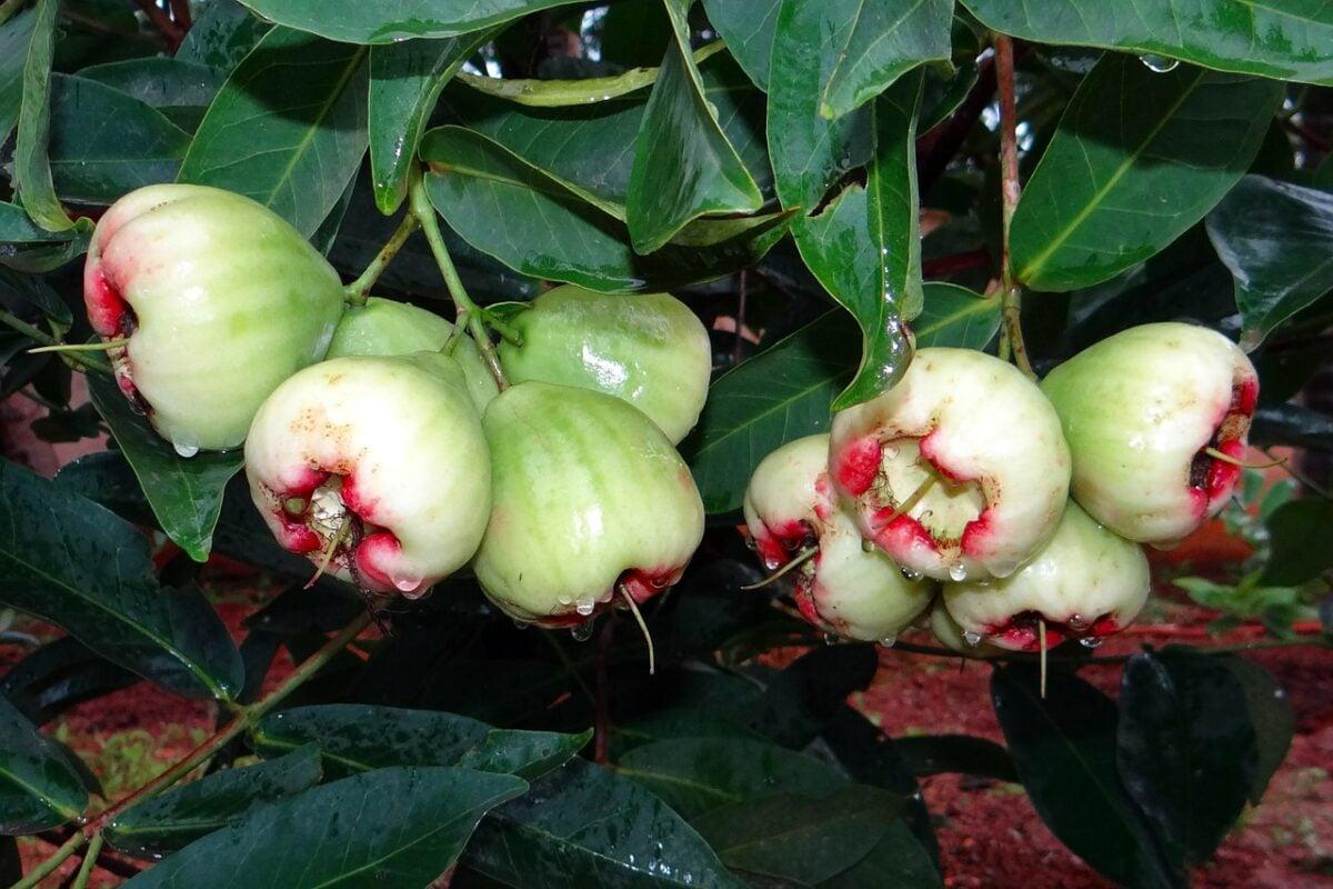 Syzygium- Jambos-Melarosa