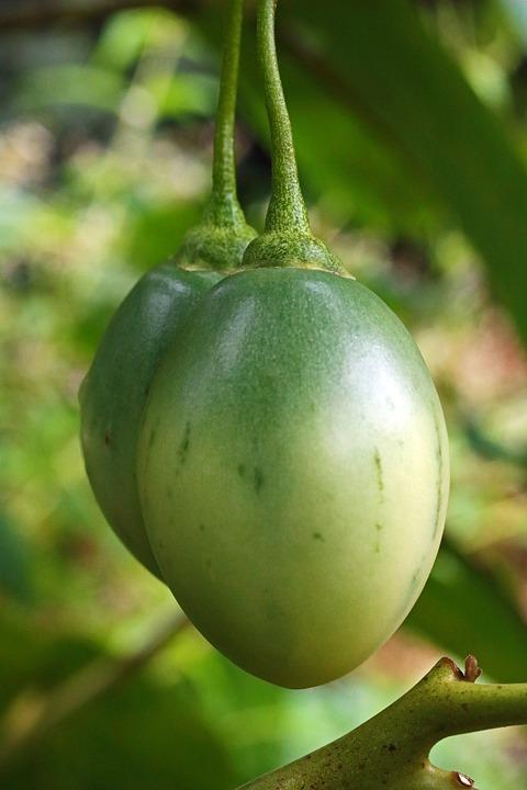 Tamarillo-frutti acerbi