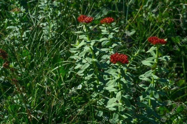 Rodiola-Rhodiola integrifolia